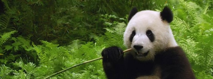 Panda mange une branche